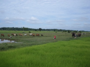Walking through the paddy fields